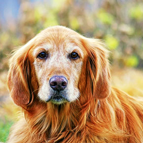 Three senior dog ailments to watch out for