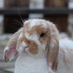 Health tips for senior rabbits in Cambridgeshire