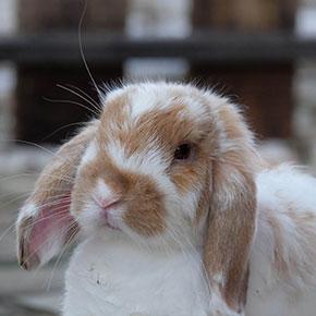 Health tips for senior rabbits in Cambridgeshire