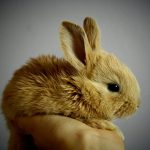 Advice on rabbit breeding from Clarendon Street Veterinary Surgery