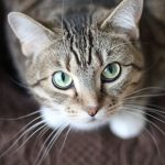 Cats in heat – the facts from Clarendon Street Veterinary Surgery