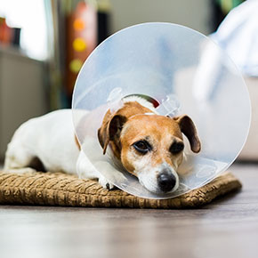 Neutering dogs: what you need to know