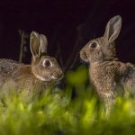 Bonfire night safety for rabbits in Cambridgeshire