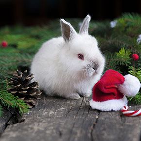 Festive season preparations for your rabbit