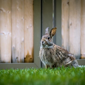 Advice on noisy fireworks and rabbit behaviour from Clarendon Street Veterinary Surgery.