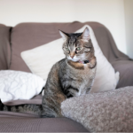 Cats in heat – what you need to know