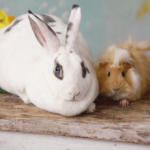 Summer risks & diseases affecting rabbits & guinea pigs.