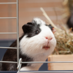 Holiday care for your Guinea pig