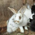 Clarendon Street Veterinary Surgery's share expert advice on flystrike in rabbits